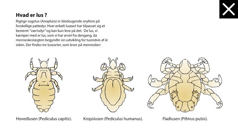 Lusene: Hjemmeside til indskolingen om hovedlus.