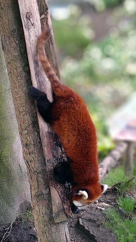 Rød Panda fra Odense Zoo.
